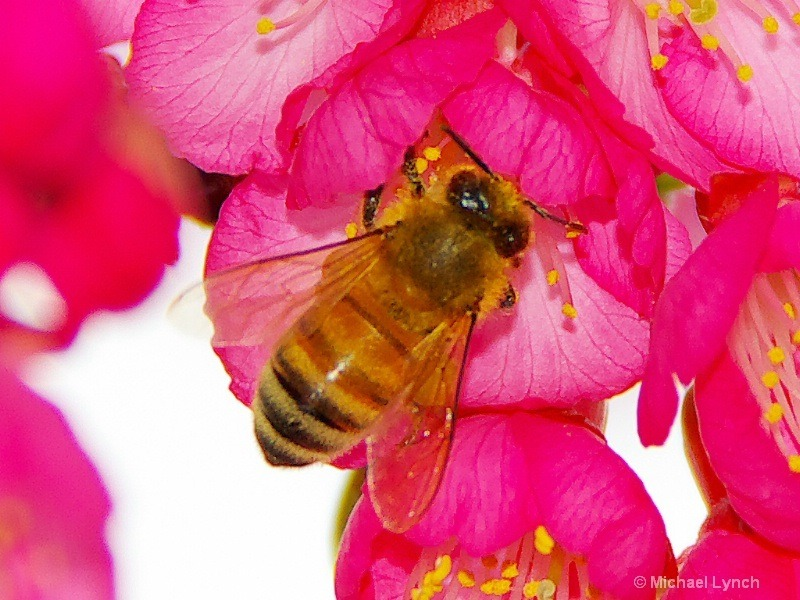 A bee harvesting pollen from the Cherry Blossoms