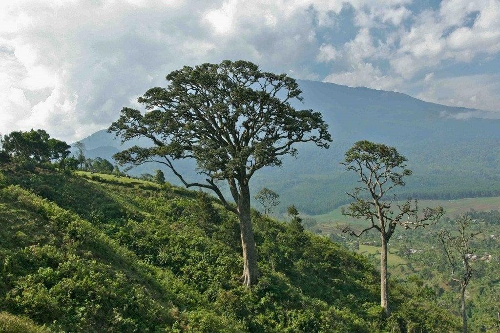 Mahogany tree on the hike to Ng'iresi
