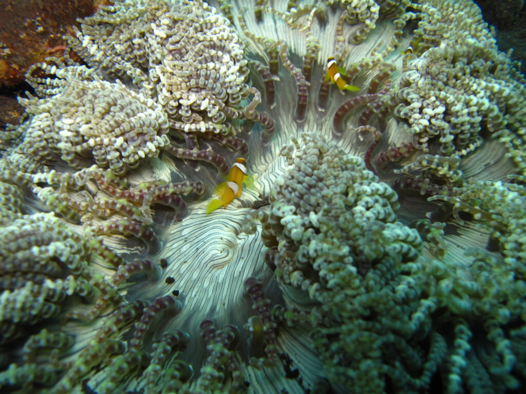 Anemonefish protecting their home
