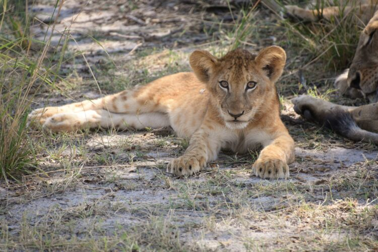 Lion cub at Selous Game Reserve in Tanzania