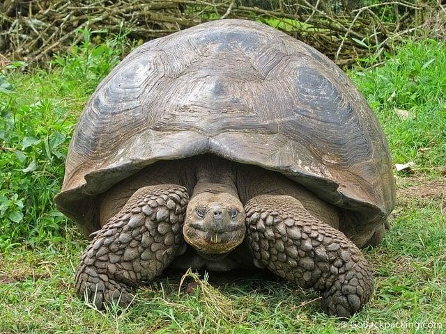 Galapagos Giant Land Tortoise