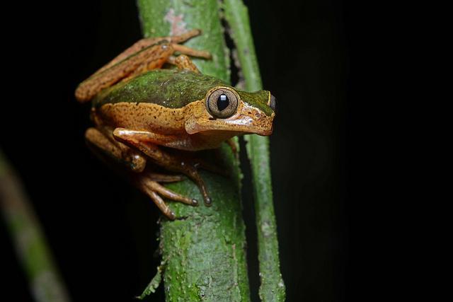 tree frog (photo: Geoff Gallice)