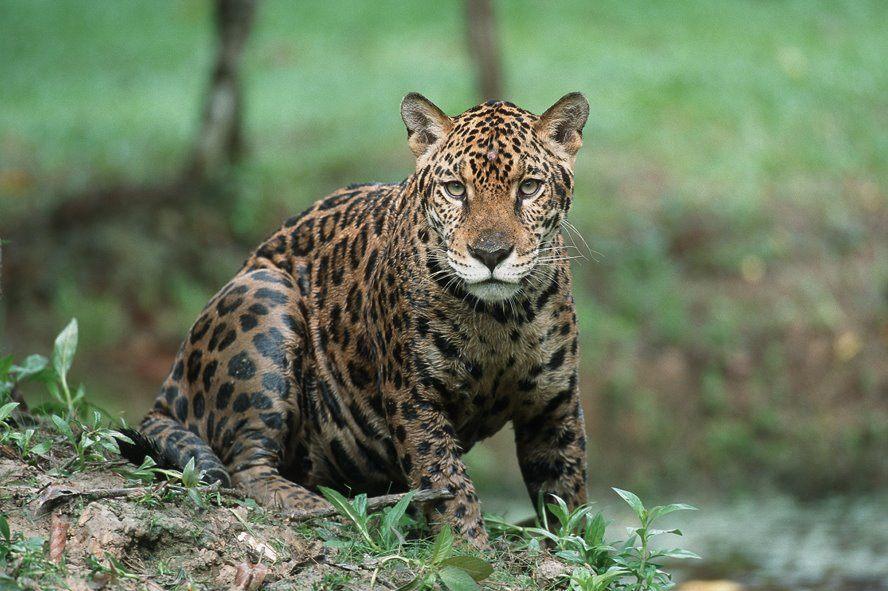 A Jaguar in Tambopata