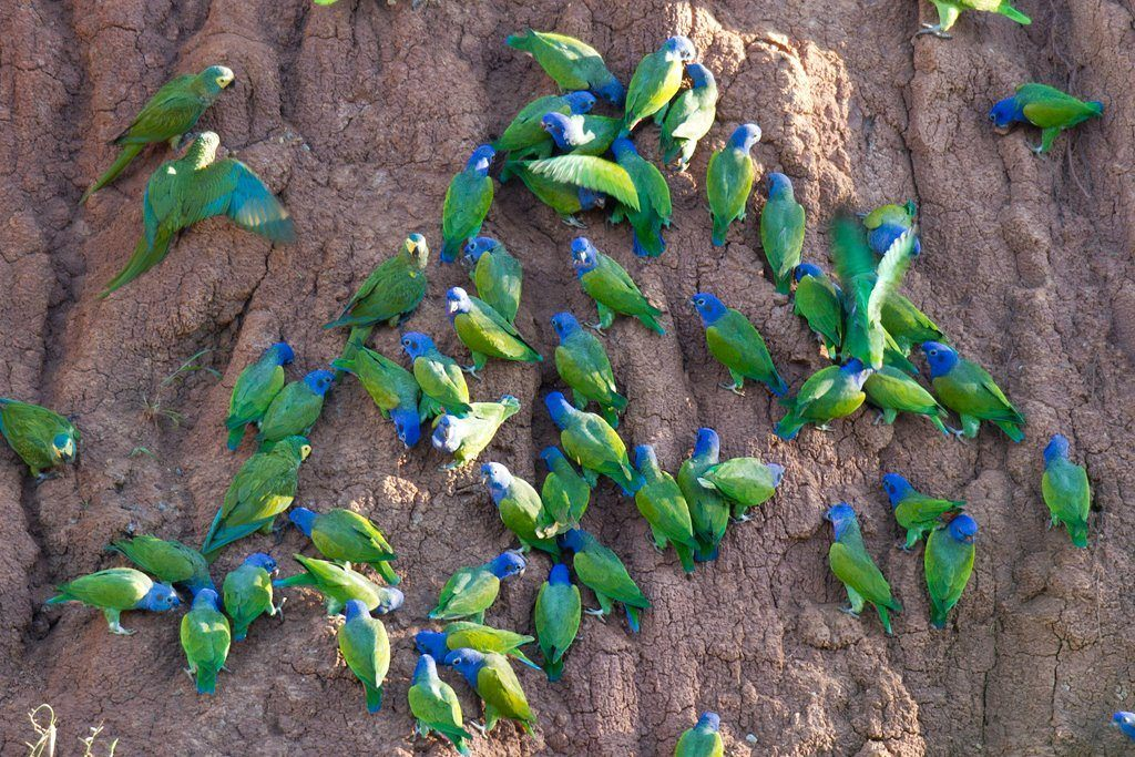 A variety of parrots feeding at a clay lick