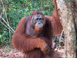 Adult orangutan in Tanjung Puting National Park