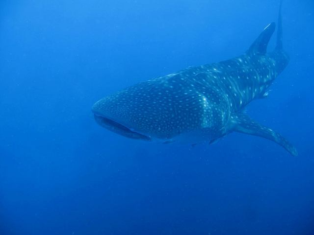 Underwater view of a whale shark, similar to what I saw while snorkeling (photo: Marcel Ekkel)