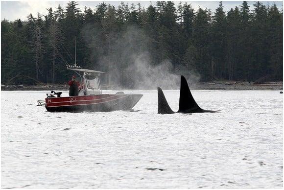 Sightseeing Haida Gwaii style. Orcas swim nearby a lucky angler.