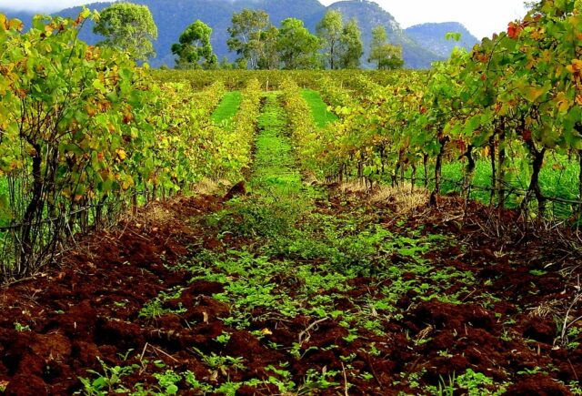 Hunter Valley Means Vineyards (photo: F Delventhal)