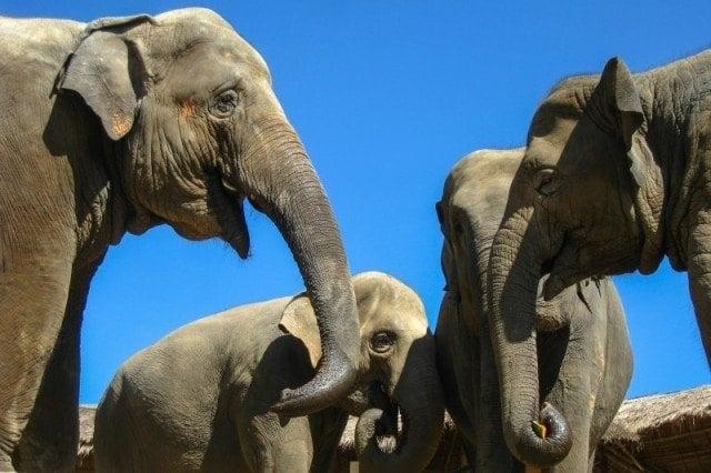 More Asian Elephants
