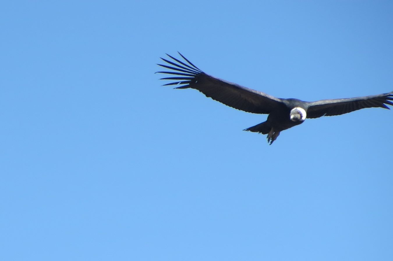 A condor flies by as visitors try to take its picture. I did OK, I guess.
