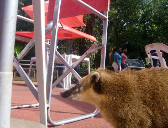 This coati tried to steal my empanada while I was taking its picture.