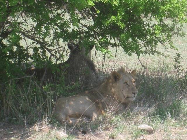 Lions in Kruger Park, South Africa