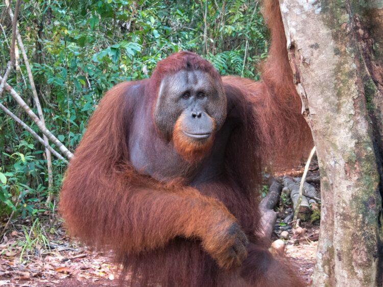 Orangutan in Indonesian Borneo