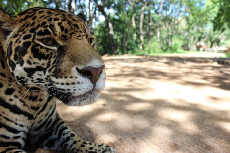 Jaguar at Zoofari (photo: Jonathan Martínez-Ortega)