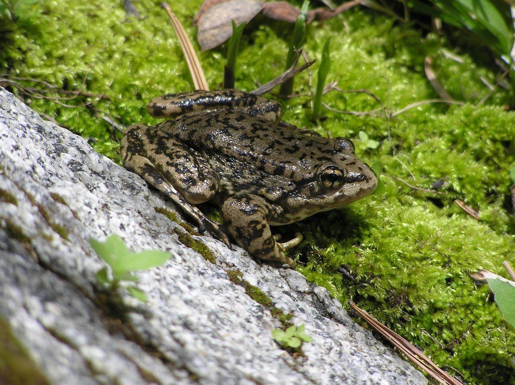 MYLF Frog