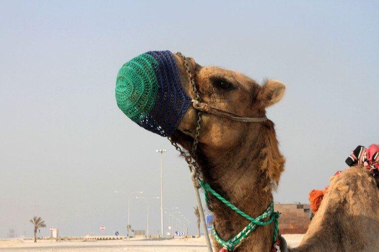 Camel in Doha, Qatar