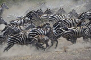 Zebras running in the Serengeti (photo: Diana Robinson)