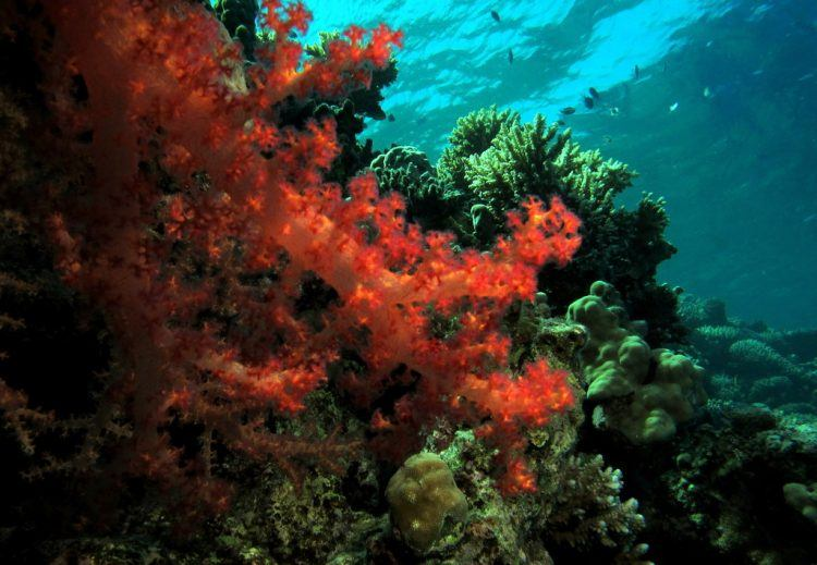 Fanous East Reef in Red Sea