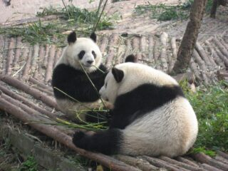 Giant Pandas in Chengdu, China