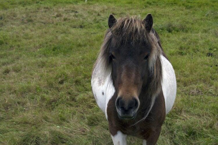 A Faroese horse