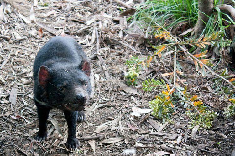 Tasmanian Devil (photo: Wiki Commons)