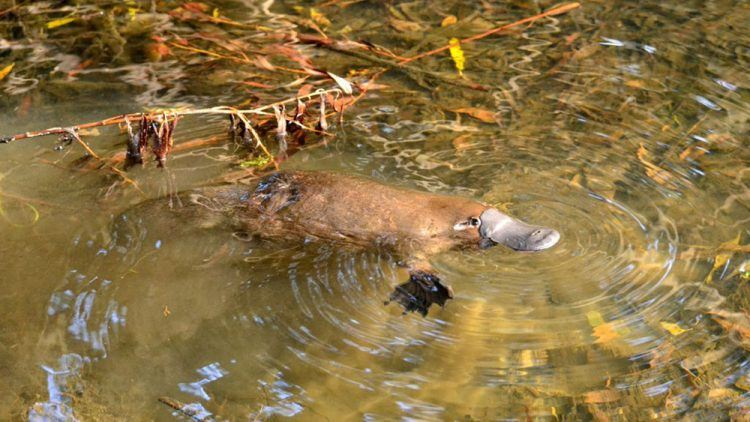 The rare sight of a platypus in the wild (Credit: Wiki Commons)