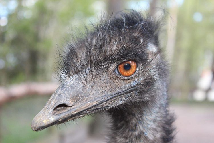The clever looking emu (photo: HNBS, Pixabay)