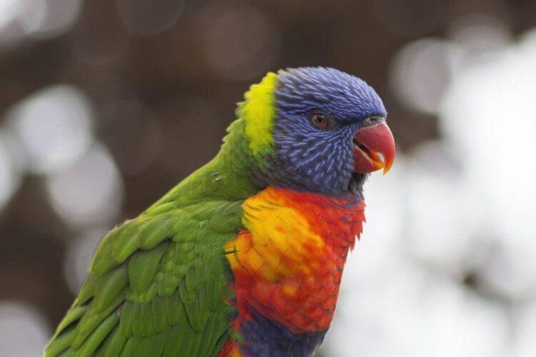 A rainbow lorikeet (photo: skeeze, Pixabay)