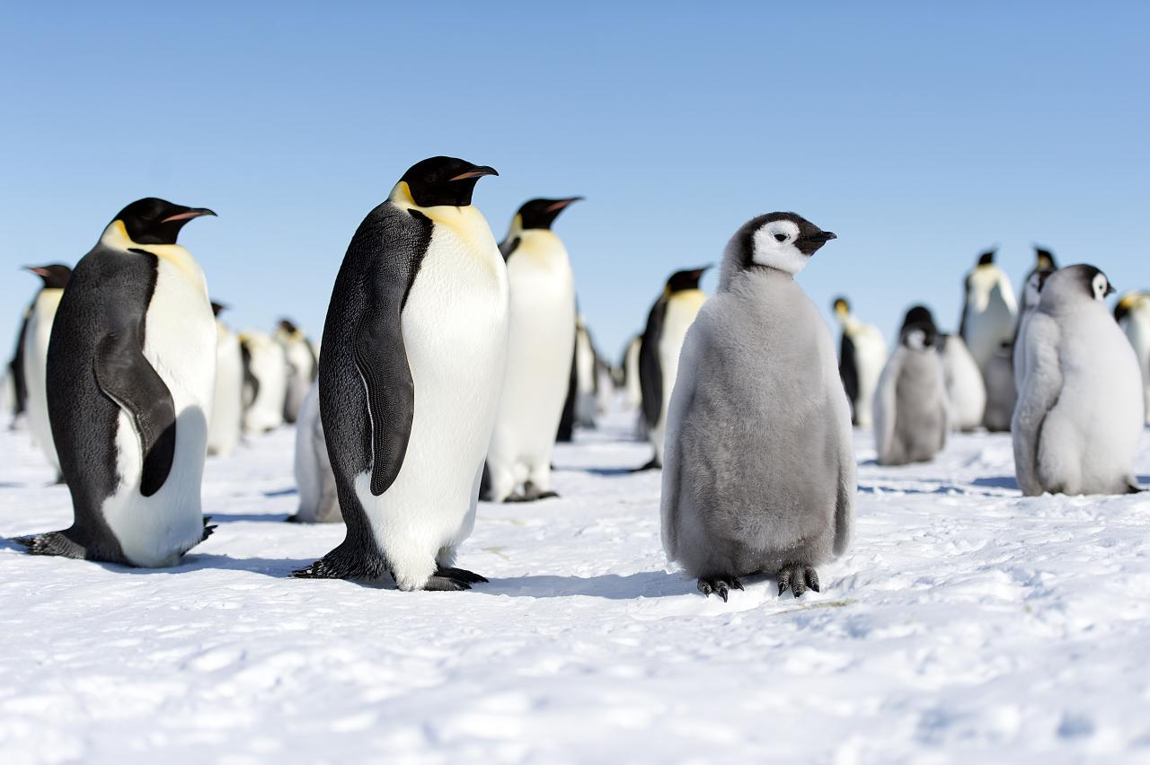 Emperor Penguins in Antarctica, one of the most remote travel destinations.