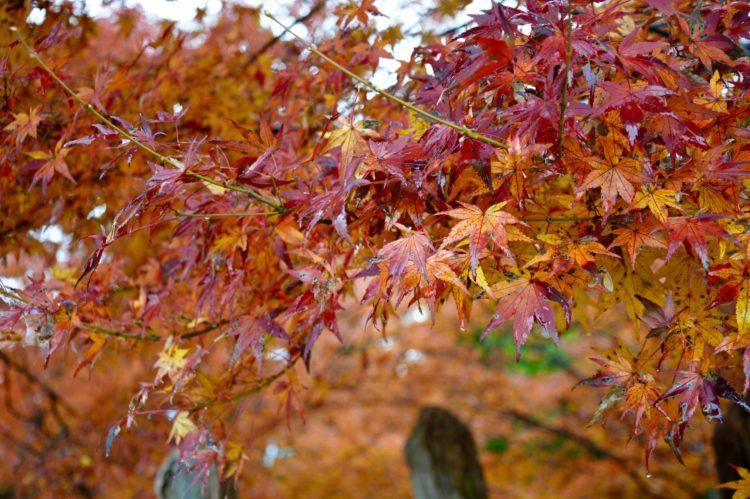 Autumn in Japan, and the colorful leaves of Asuke