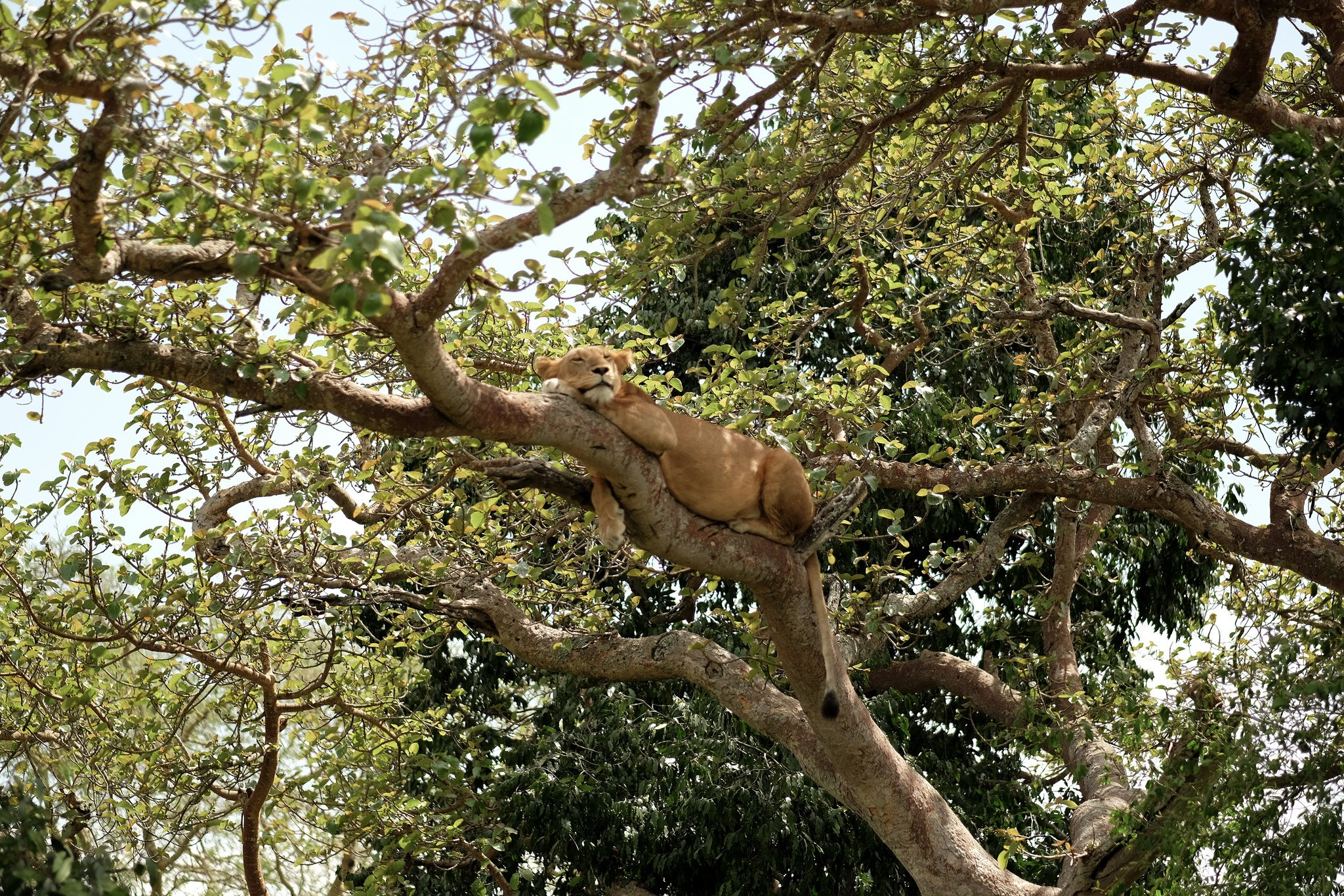 A lion in Queen Elizabeth National Park - Uganda safaris