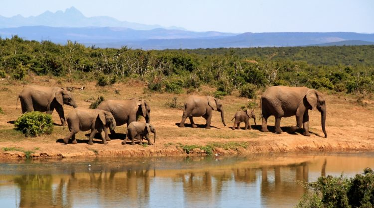 Elephants (photo: cocoparisienne, Pixabay)