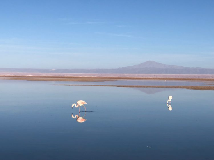 Flamingos in the Atacama Desert. Cheap flights are available from Santiago, Chile