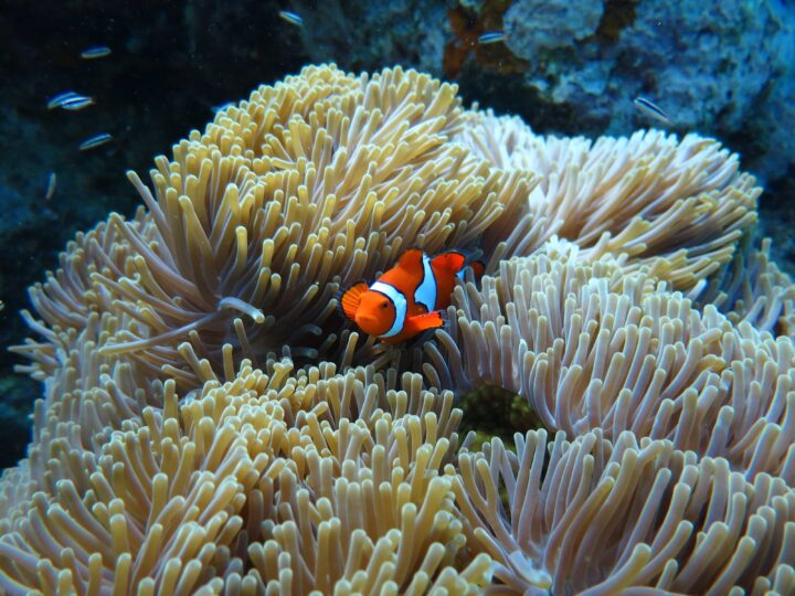 Clown fish hanging out in the anemone.
