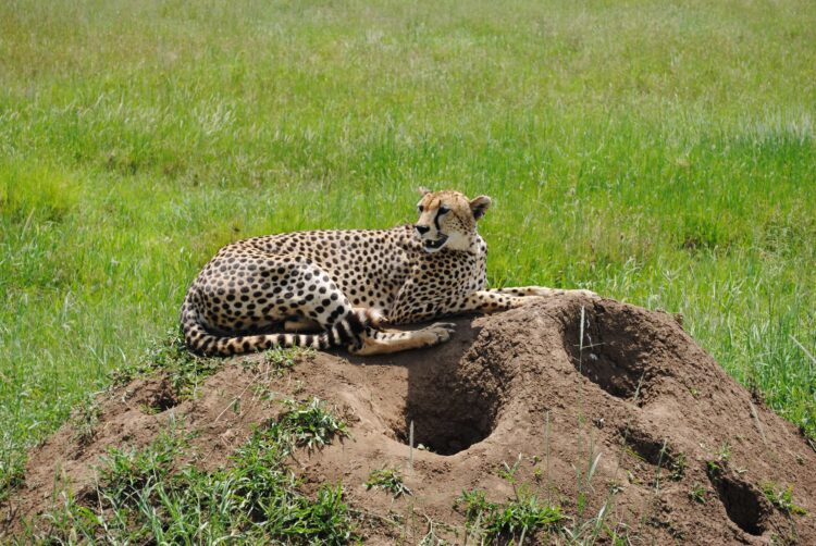 A cheetah rests on a termite mound in the Serengeti (photo: ostpost39, Pixabay)