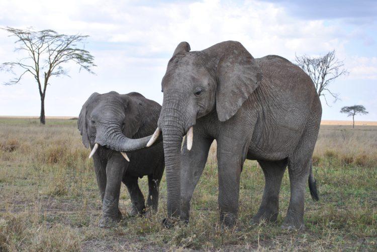 Elephants in Serengeti National Park (photo: Nici Keil, Pixabay)