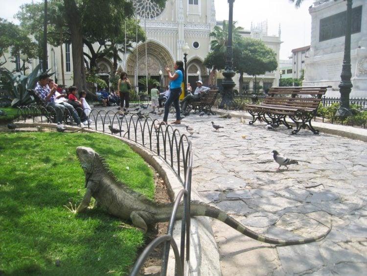 Iguana in Parque Seminario