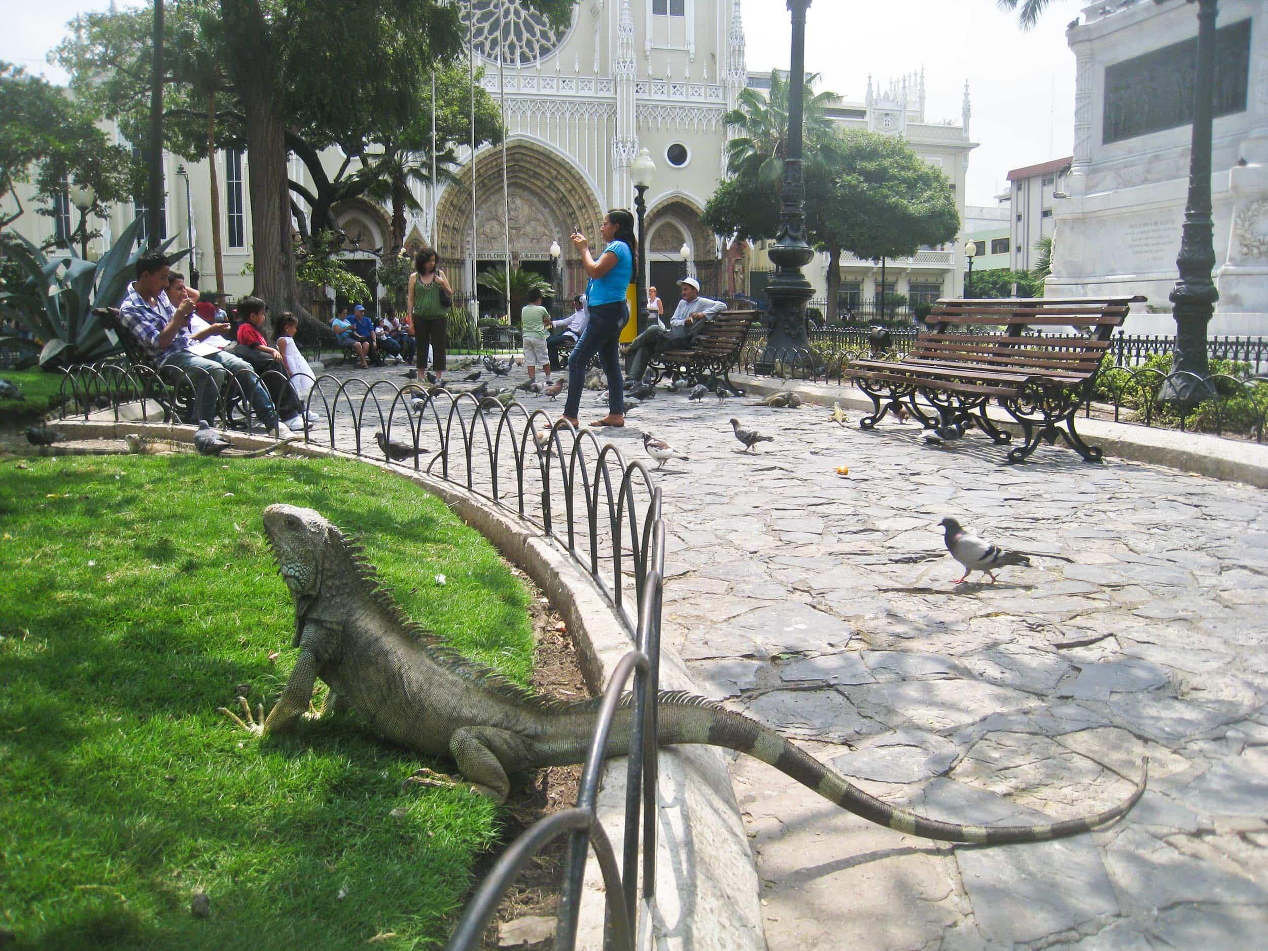 Iguana in Parque Seminario - Guayaquil, Ecuador