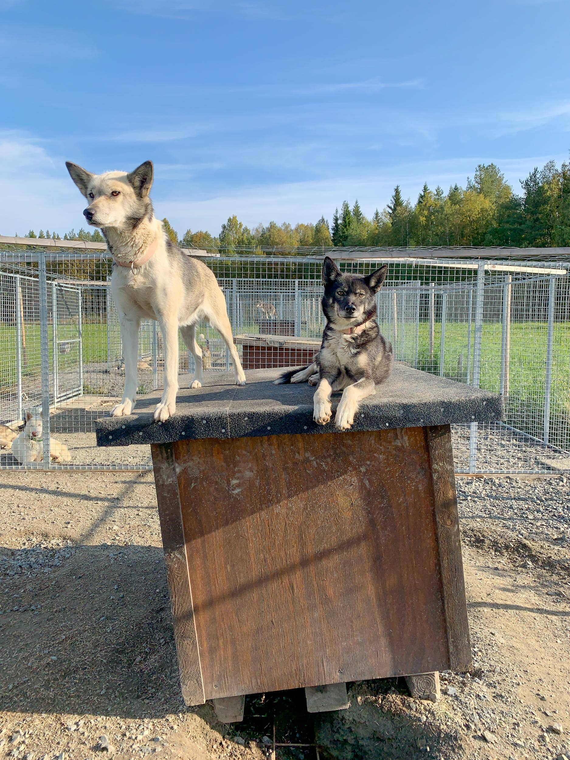 Huskies at Spruce Island Husky in Vasterbotten, Sweden