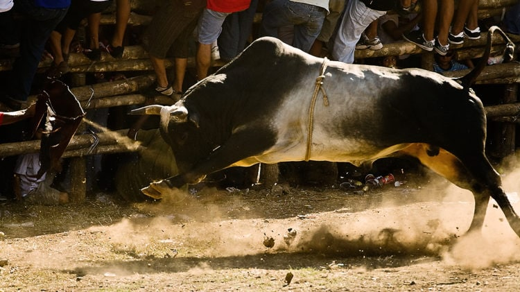 Costa Rican bull chasing after his next victim! (photo: hambo)