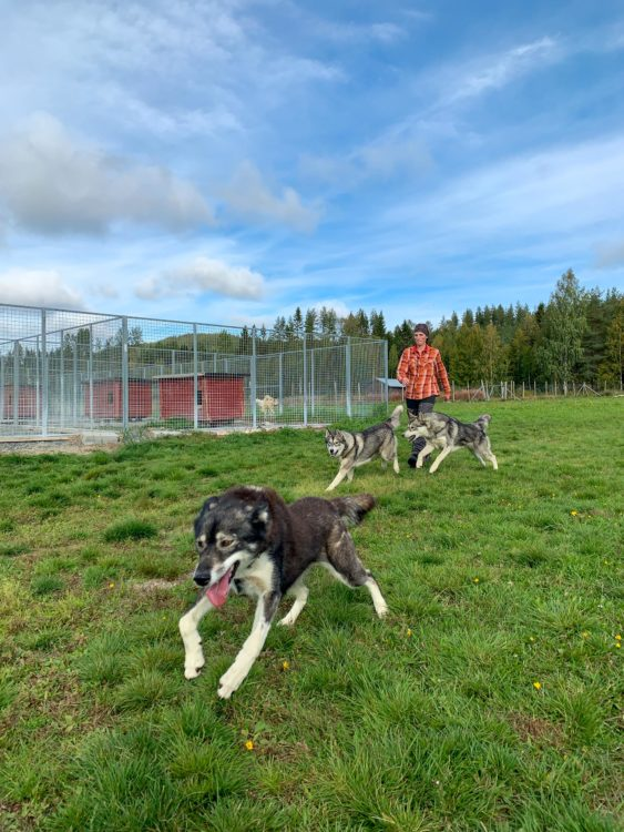 Spruce Island Husky is located in Vasterbotten, Sweden