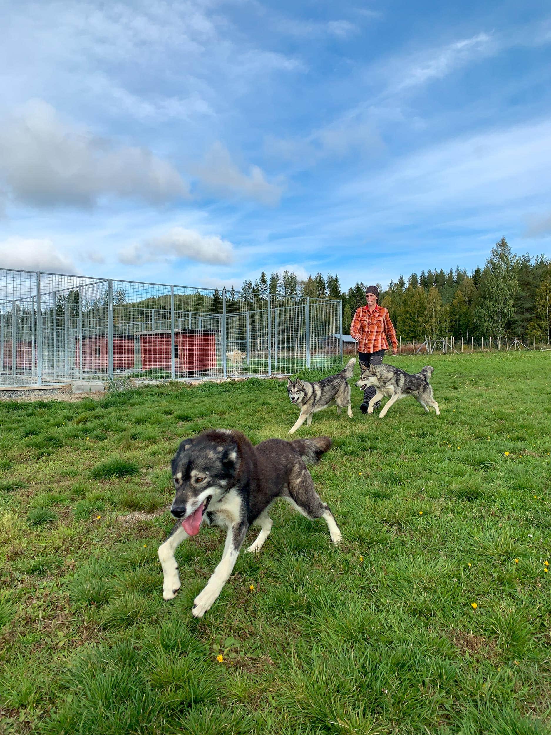 Spruce Island Husky is located in Vasterbotten, Sweden