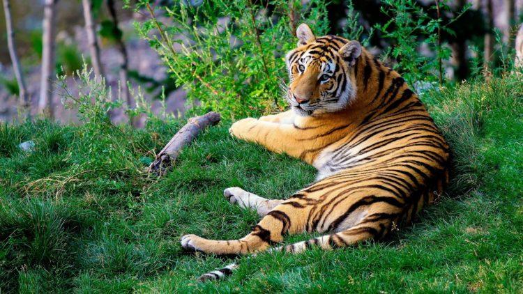 Bengal tiger (photo: Free-Photos, Pixabay)