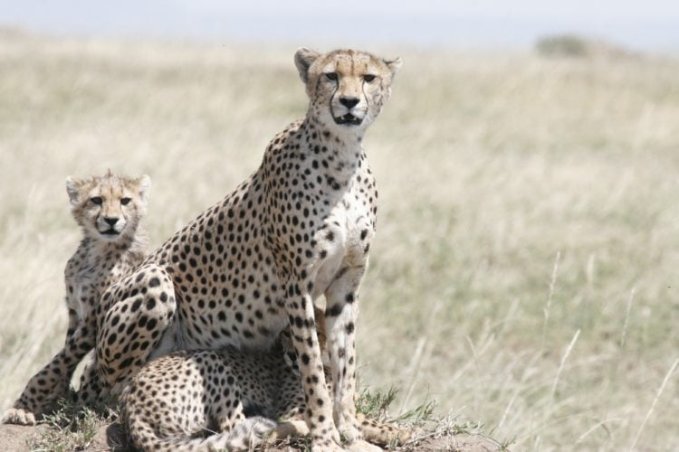 Female cheetah and cubs in Serengeti (photo: Carole Henderson, Pixabay)