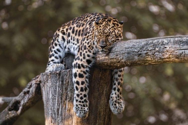 Sleeping jaguar (photo: edmondlafoto, Pixabay)