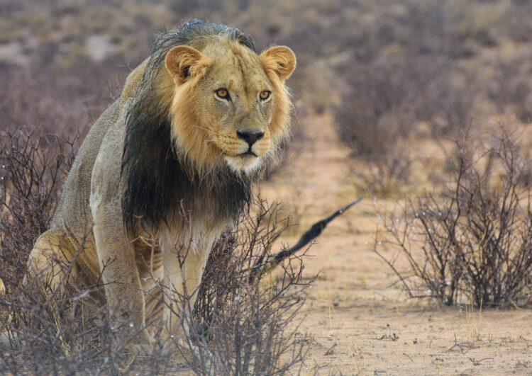 Kalahari lion (photo: itprax, Pixabay)