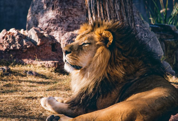 Male lion (photo: Kevin Phillips, Pixabay)