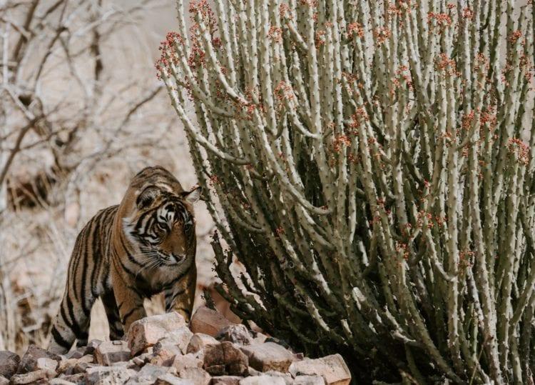 Tiger stalking prey (photo: Annie Spratt, Unsplash)