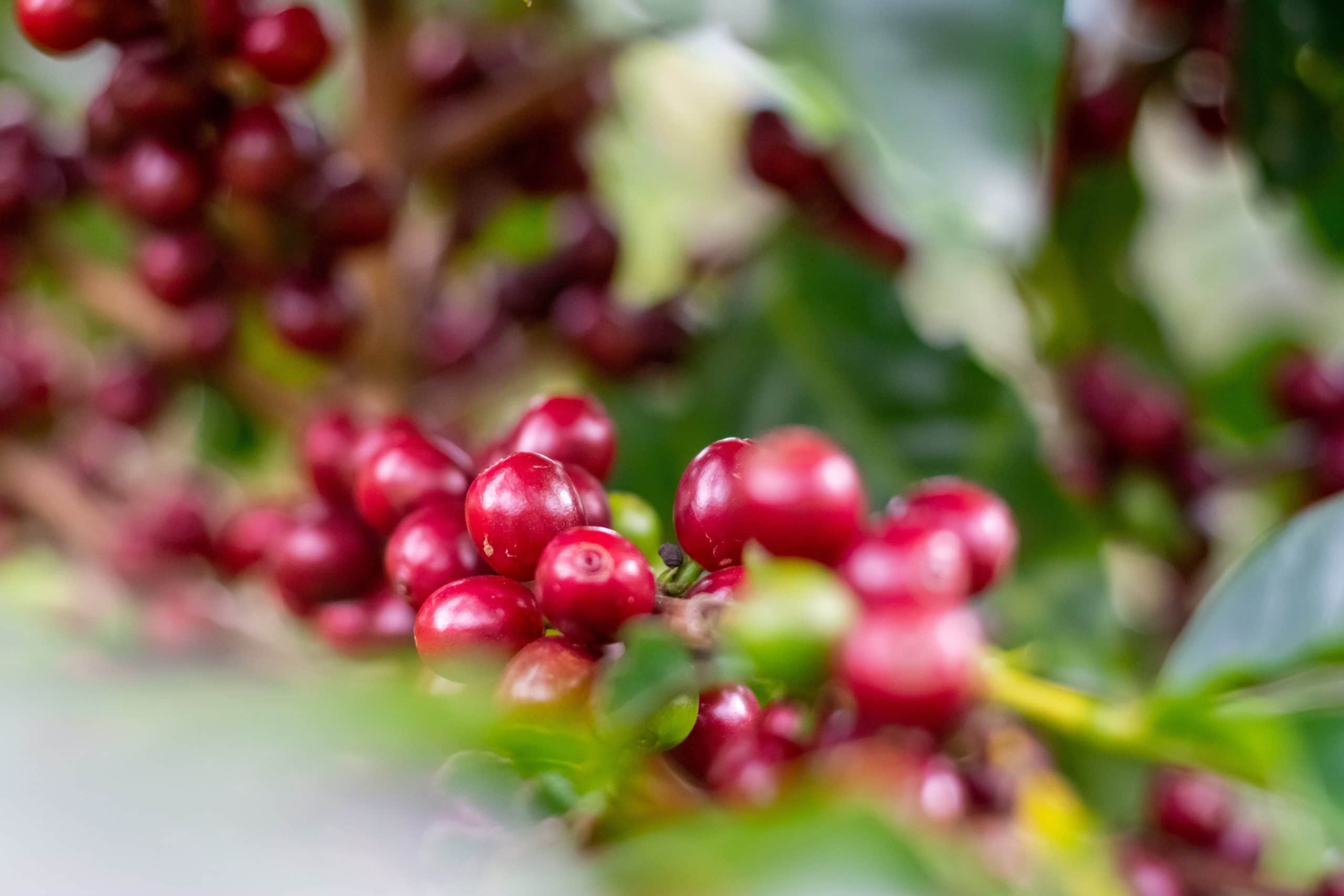 Coffee beans in Poas, Costa Rica (photo: Ricardo Arce, Unsplash)