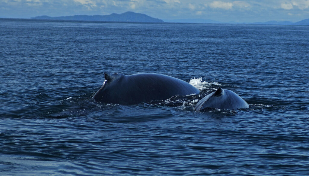 Whale watching in Gulf of Chiriqui